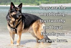 ❤ The German Shepherd