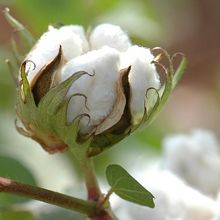 Gossypium herbaceum, Cotone