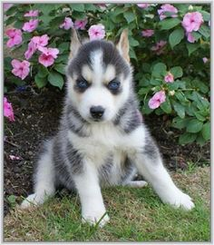 siberian husky puppies grey and white | Zoe Fans Blog