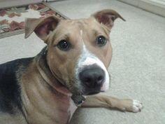 Zula. #pitbull #dogparkpublishing www.dogparkpublishing.com www.facebook.com/ittypitties