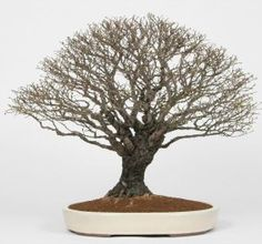bonsai styles, chinese elm, bonsai trees