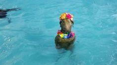Um cachorro curtindo a piscina é nova estrela da internet