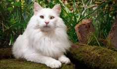 Norwegian Forest Cat Breed Information     we have a norwegian forset cat, he is awesome. this is a great family pet they love kids!!