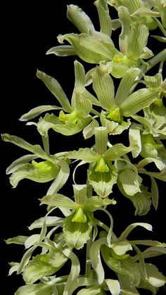 Orchid: Clowesia dodsoniana - Flickr - Photo Sharing!