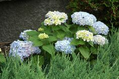 Endless Summer Hydrangea (Hydrangea macrophylla 'Endless Summer') at Bachman's Landscaping
