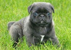 Pug & French Bulldog Frugg