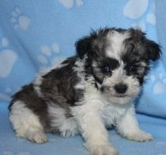 Daisy dog puppies also known as FuzzyWuzzyPoo puppies :0)