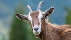 Image result for goat images
