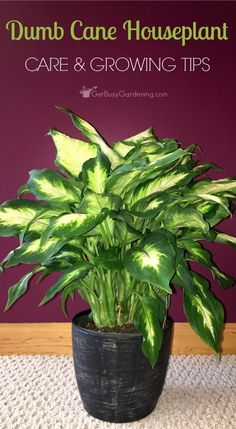 The dumb cane houseplant (Dieffenbachia) is a beautiful, low light houseplant. They are so easy to grow, they practically take care of themselves!