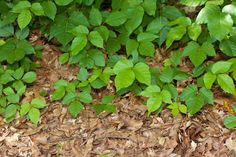 Tons of natural and homemade remedies for poison ivy, oak, and sumac