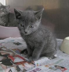 Russian blue cat nj