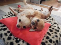 Effective Potty Training Chihuahua Consistency Is Key Ideas. Brilliant Potty Training Chihuahua Consistency Is Key Ideas. Teacup Chihuahua, Chihuahua Puppies, Cute Puppies, Cute Dogs, Baby Animals, Cute Animals, Nemo, Puppies And Kitties, Doggies