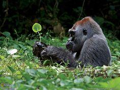 Gorille dos argenté prenant son bain