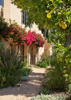 Dream drought tolerant/low water backyard. No grass! Looks like a DG  or pebble pathway. Beautifully bougainvillea and lemon tree.