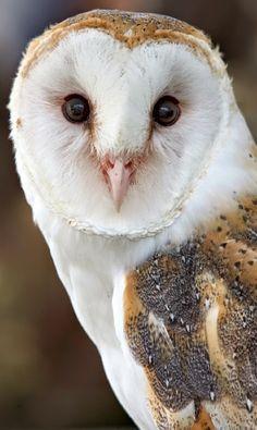 hoot..hoot...hoot...Beautiful Owl Google+