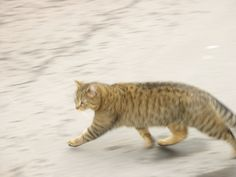 Tabby Cat Running Cat Run, Cat Life, Cool T Shirts, Cats And Kittens, Cool Pictures, Cute, Animals, Running, Gatos