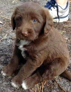Bear the Labrador Mix puppy - what a sweetie