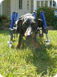 Special Needs! Pictures of Jax a Dachshund for adoption in Anaheim, CA who needs a loving home. Hi, I'm Jax & as you can see I am a very special dog. I am a year old & I have something called Kyposis which is an abnormal curvature of the spine which made it impossible for me to walk. Even the specialist doctor didn't think a cart would work but the angels at Dachshund Paws designed a special cart for me & now I am ready for my extra special forever home hopefully with another 4 legged…