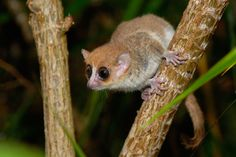 Andasibe's mouse lemurs proved to be a previously undescribed species, now called Goodman's Mouse Lemur Microcebus lehilahytsara