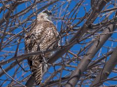 Juvenile Red-Tailed Hawk by Lake Ontario by Rick Lewis  March 26, 2013    Kingston, Ontario March 22, 2013