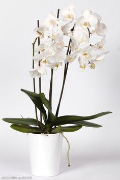 Jak pielęgnować storczyki - uprawa Flora, Vase, Home Decor, Ikebana, Bonsai, Gardening, Plants, Balcony, Decoration Home