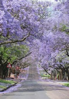 The path of purple cherry blossoming