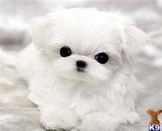 teacup maltese puppy OMG!!