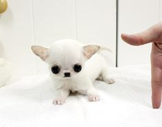 9 Best Apple Head Dogs Images In 2017 Apple Head Chihuahua Cute