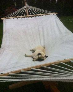Lazy pug #pug