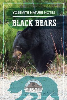 Hundreds of black bears make their home in Yosemite National Park and seeing a wild bear is often the highlight of a trip to the park. Here are some interesting facts and safety information about the black bears in the area. Us National Parks, Yosemite National Park, Travel Expert, Travel Tips, Travel With Kids, Family Travel, Travel Alerts, Wildlife Biologist, Bass Lake