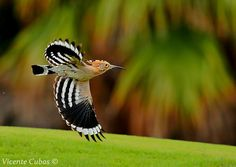 Funny Wildlife, ABUBILLA (Upupa epops) by Vicente Cubas on Flickr....