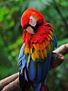 Ara Macao - Grande pappagallo sudamericano con le ali rosse, gialle e blu e dal becco esageratamente forte