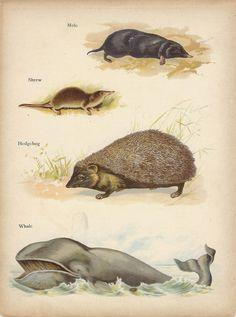 Mole, Hedgehog Shrew, Whale, Antique Chromolithograph, Natural History, Vintage Print, 1902, Raphael Tuck, Animal Picture Wagner. £8.50, via Etsy.