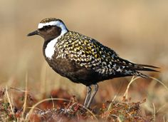 © Andy Johnson | A large shorebird of pastures, open ground, and mudflats, the American Golden-Plover makes one of the longest migratory journeys of any shorebird. It breeds on the high Arctic tundra of Alaska and Canada and winters in the grasslands of central and southern South America.