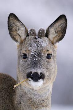 Roe Deer, simply my favourite!