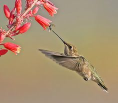 Yucca | 37 Flowers That Attract Hummingbirds