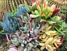 Some velvety, golden, red margin, blue stick, green watch chain, red scalloped goodness for ya on this Thursday. Of what's visible, Sedum adolphii, golden barrel cactus and Crassula lycopodioides (watch chain) are available at our online shop.