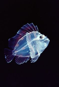 "Translucent deep sea fish ~ Mik's Pics ""Sea Life ll"" board Beautiful Sea Creatures, Deep Sea Creatures, Animals Beautiful, Pictures Of Sea Creatures, Under The Water, Under The Sea, Underwater Creatures, Underwater Life, Fauna Marina"