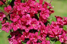Top 20 des plus beaux arbustes à fleurs - M6 Deco.fr Agriculture, Cactus, Outdoor, Garden, Garden Shrubs, Plants, Rustic Flowers, Small Garden Trees, Tall Shrubs