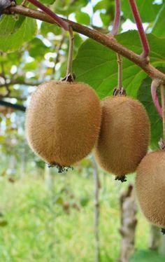 kiwi fruit mamones fruit