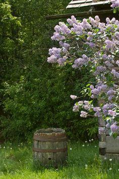 lilacs & barrel
