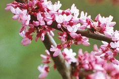 Redbud Planting Guide