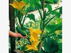 Kletterzucchini 'Black Forest' Black Forest, Cactus Plants, Garden Landscaping, Plant Leaves, Flora, Landscape, Urban Gardening, Heavens, F1