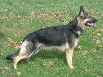 Is your dog breed worthy?  While this article is written about the German Shepherd Dog, the same basics can be applied to any other breed as well.