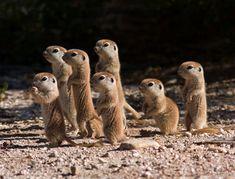 Baby meerkats...