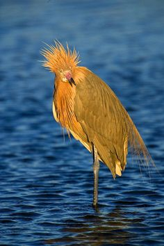 Reddish egret, Merritt Island, Florida