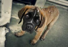 Thor, Saint Bernard/Bull Mastiff mix at 13 weeks old