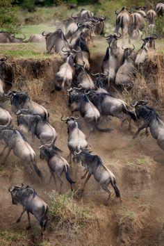 Wildebeest, Serengeti National Park, Serengeti, Tanzania, Africa. http://RetireFast.info