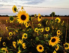 Barbed wire Sunflowers