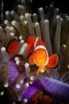 Clownfish & Anemone